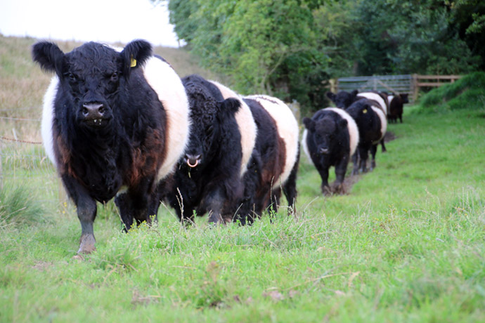 ... thought of deriving some pleasure from keeping some of these cattle