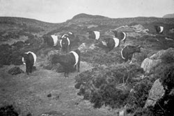 The Mochrum Herd 1923